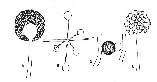 Classification zygomycota a sporangia of mucor sp b whorl of sporangia of absidia sp c zygospore of zygorhynchus sp d sporangiophore and sporangiola of ccuart Image collections