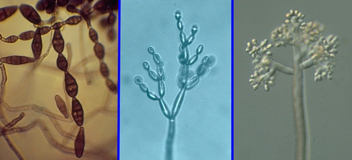 Cladosporium sporulation asexual reproduction