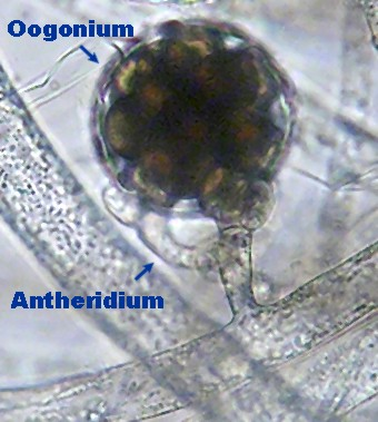 Oomycetes asexual reproduction advantages