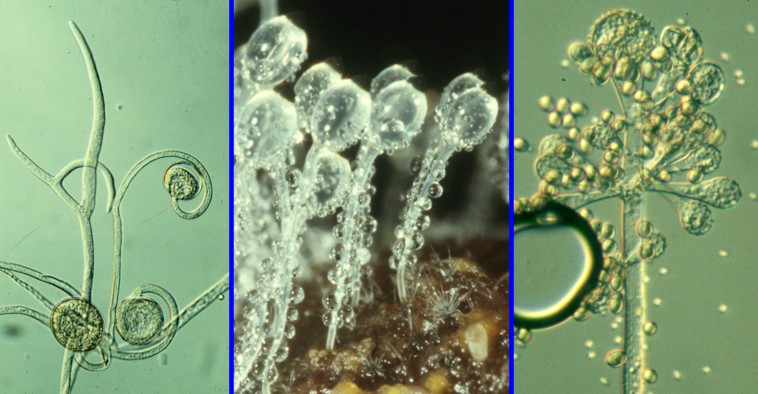 Spore dispersal mechanisms of zygomycota asexual reproduction